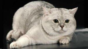 Шотландская прямоухая кошка характер