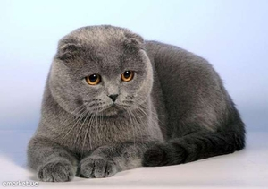 Шотландский вислоухий кот особенности
