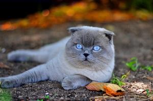 Коты вислоухие породы фото
