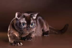 Бурманская кошка – экзотическая красавица в вашем доме