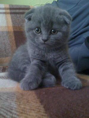 Британец вислоухий голубой кот