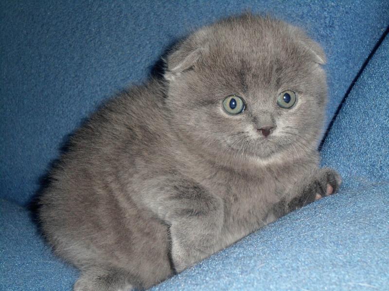 Вислоухий котёнок