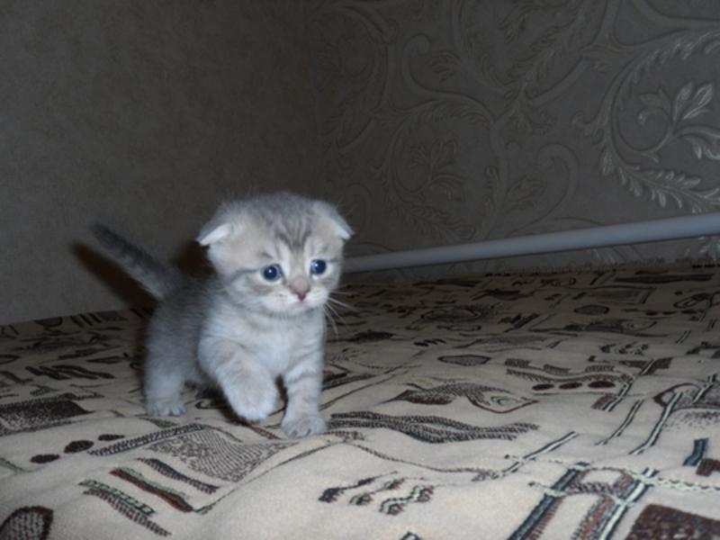 Вислоухий котенок голубой