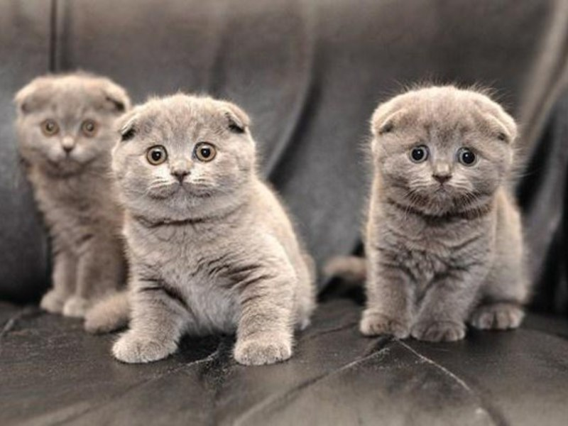 Вислоухие дымчатые котята