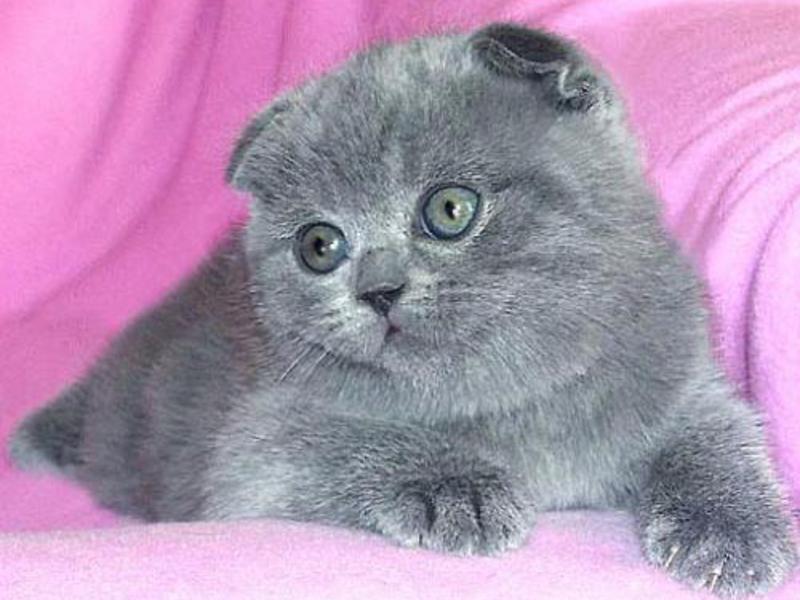 Описание породы котят