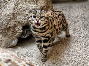 Среда обитания камышового кота