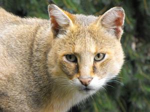 Как выглядит камышовый кот