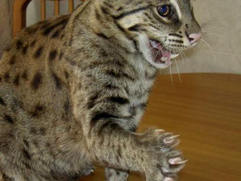 Красивые камышовые коты