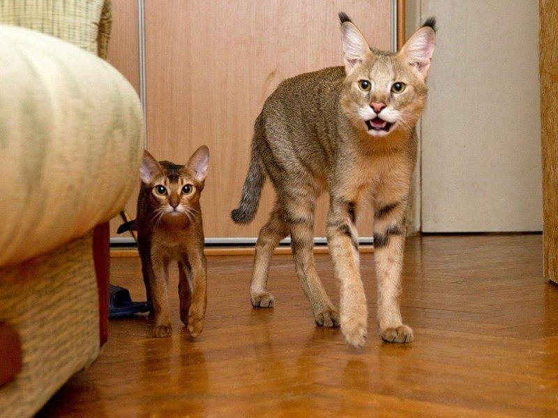 Особенности породы камышового кота