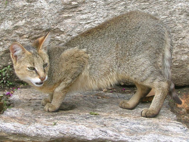 Какие повадки у камышового кота
