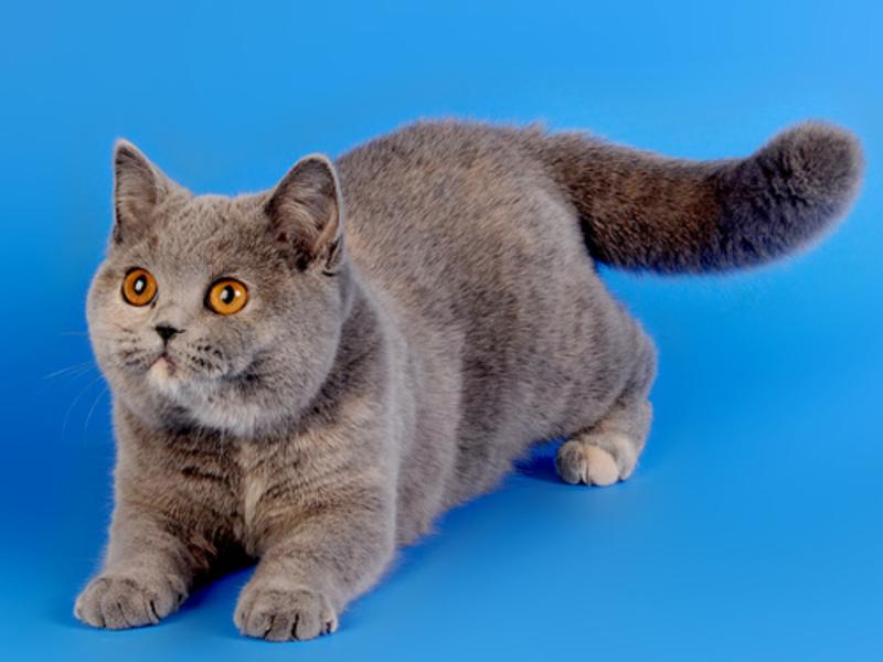 Коты шотландские характер повадки