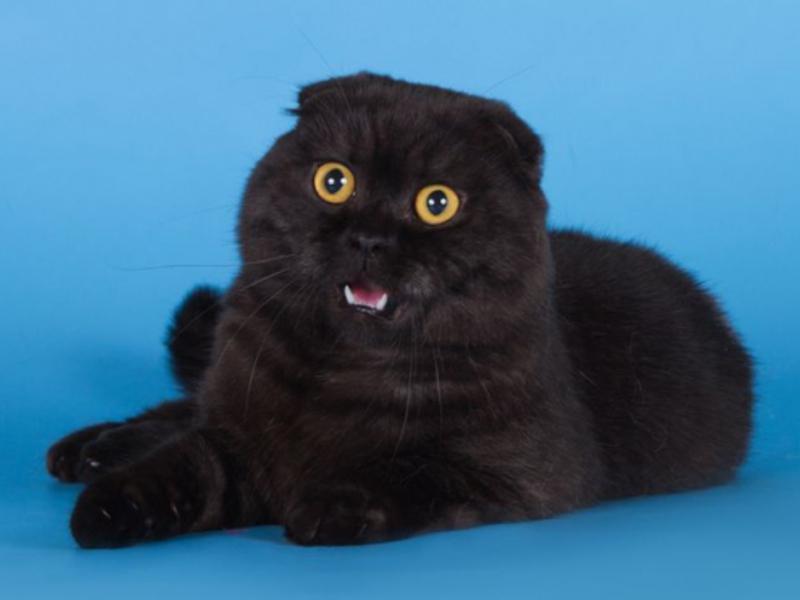 Шотландская кошка характер и ухода