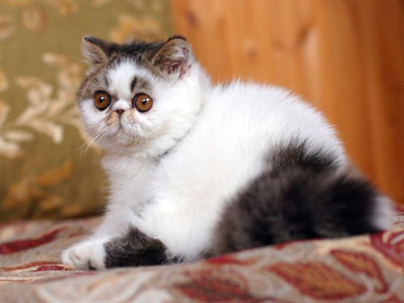 Короткошерстные породы кошек британская экзотическая