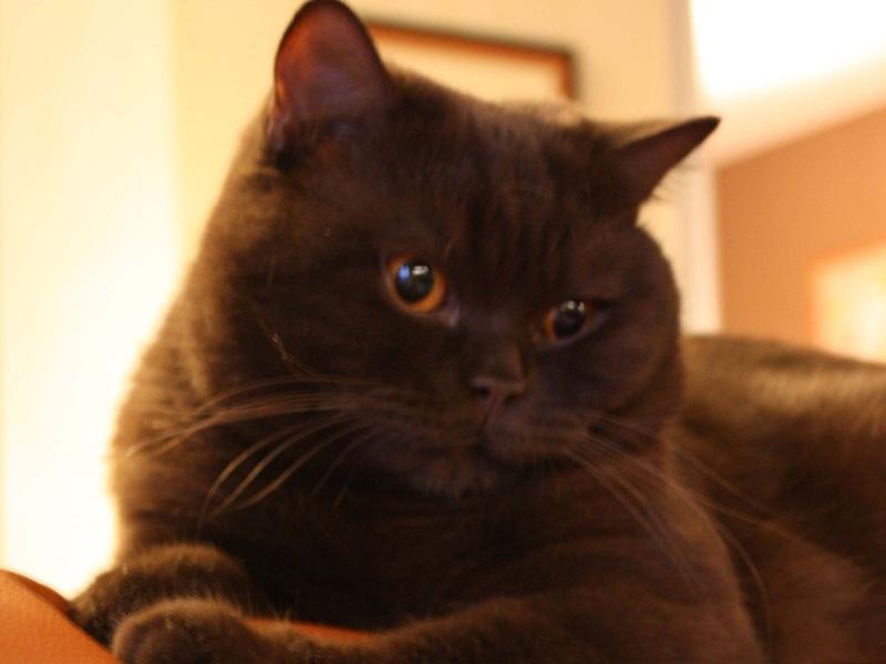 Кошки шоколадного цвета