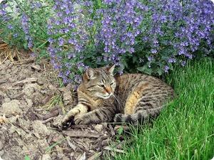 Что такое кошачья мята