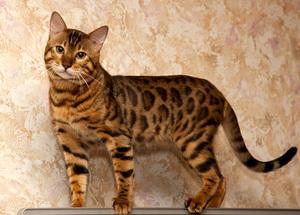 Кот породы бенгальский фото цена