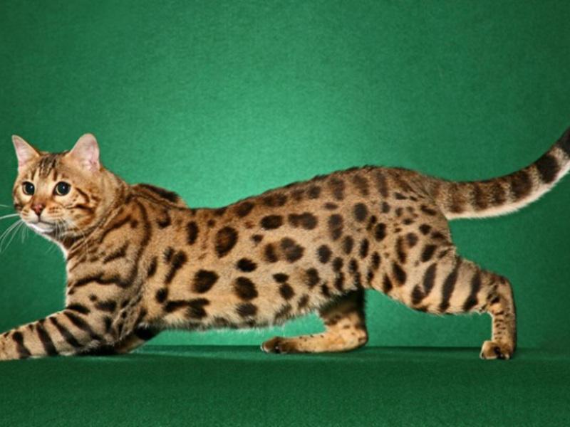 Потягивающийся кот фото