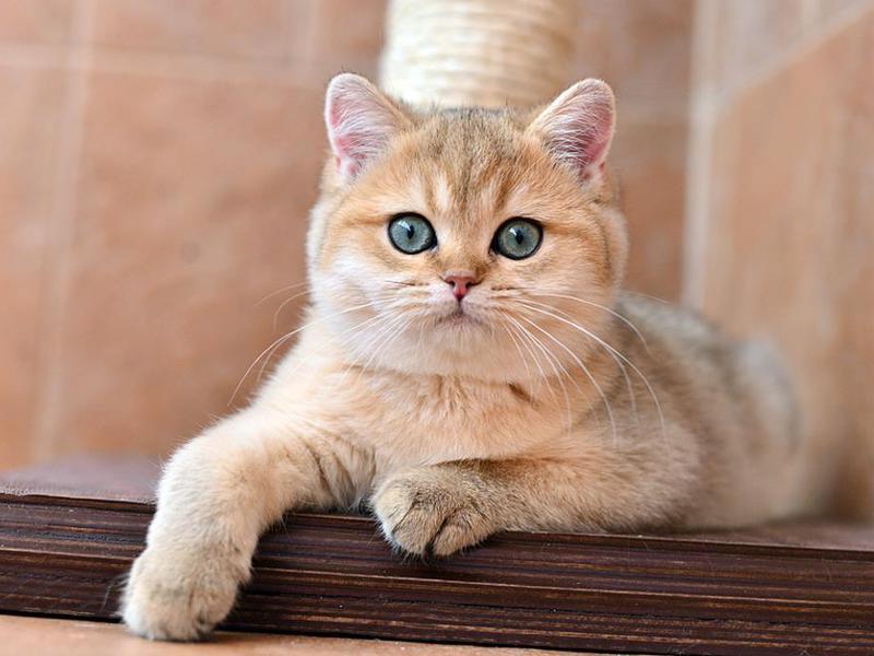 Кот золотистая шиншилла