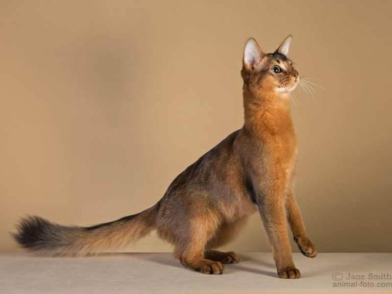 Фото сомали котов