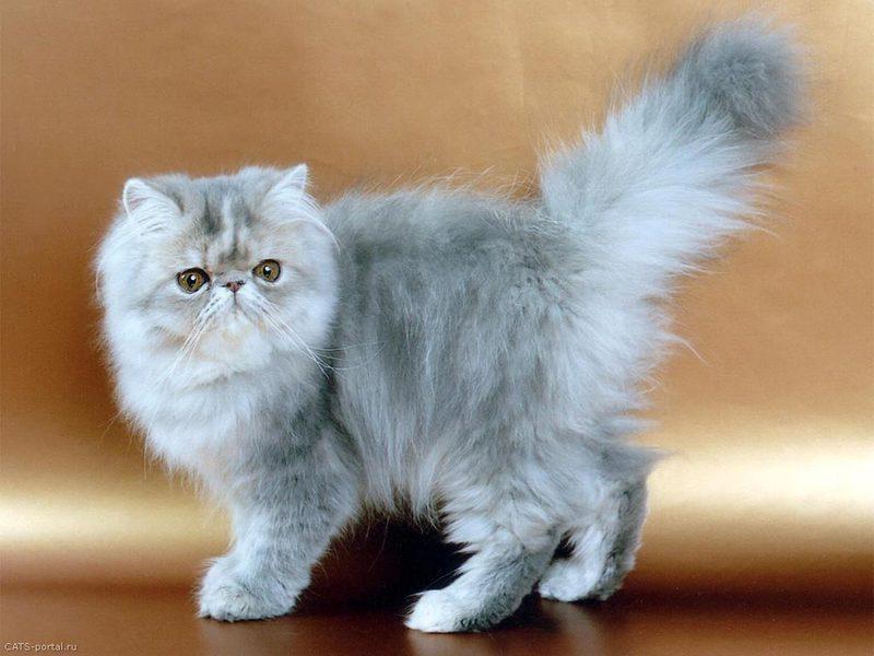 Тайны происхождения необычных котов  trainingdog