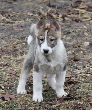Как ухаживать за щенком западно-сибирской лайки: описание породы, содержание и фото