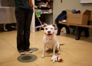 Методика приучения собак