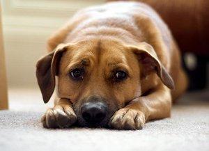 Период течки у собаки