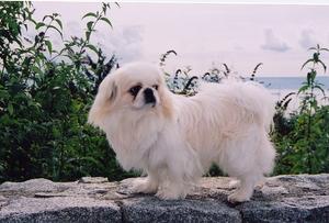 Небольшие собаки породы пикинес