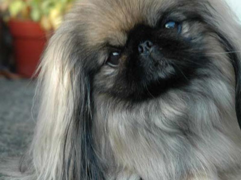 Собачки породы пикинес