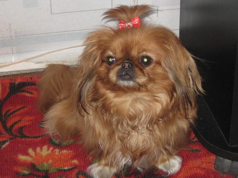 Порода собак пикинес