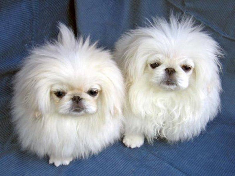 Собачки маленьких пород
