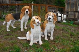 Описание породы собак бигль: питание, характеристика и фото