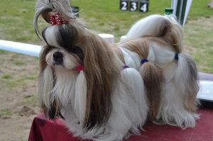 фото собачки ши-тцу