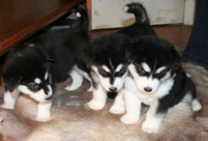 Аляскинский маламут: описание породы с фото и характер собаки, цена, выбор и воспитание щенка