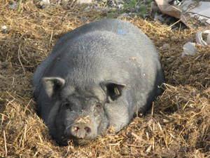 Поросята Вьетнамские вислобрюхие свиньи