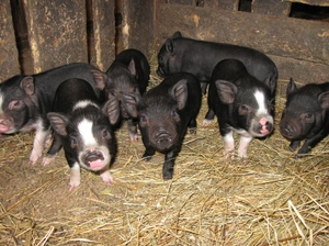 Внешний вид вьетнамской свиньи
