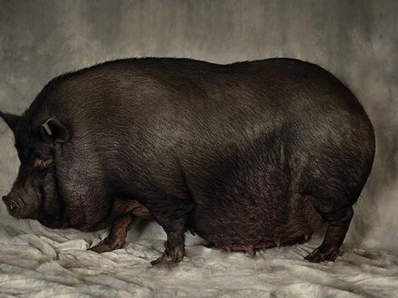 Вьетнамские вислобрюхие свиноматки с поросятами