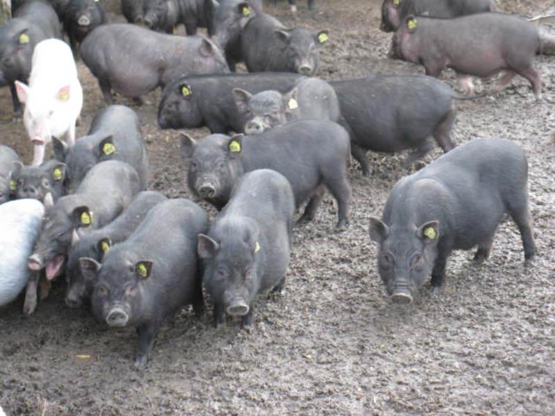 Вьетнамские свиньи уход питание