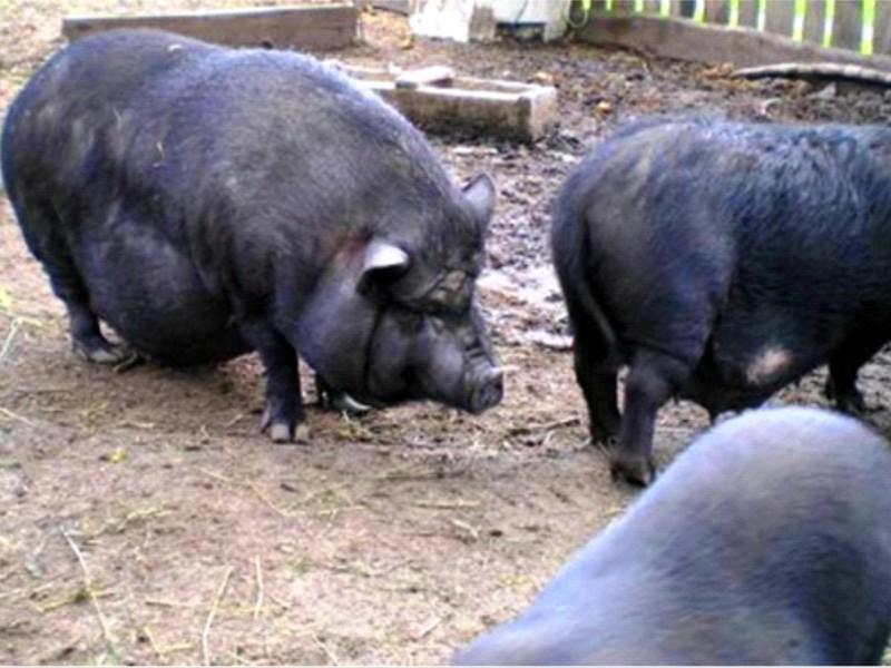 Свинья вьетнамской вислобрюхой породы