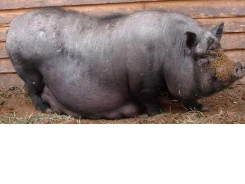 Вьетнамская вислобрюхая свинья с поросятами на прогулке