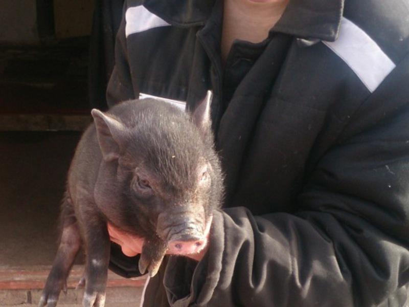 Свиньи в домашних условиях фото