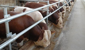 Основным условием правильного кормления бычков