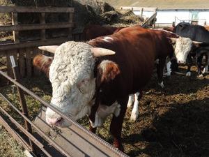 Породы бычков на мясо