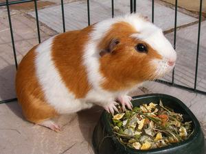Чем кормить морскими свинками в домашних условиях