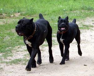 Что говорят владельцы собаки кане корсо