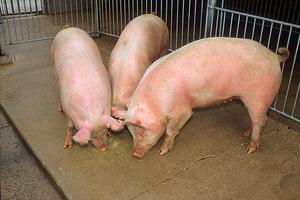 Инструкции для правильного откорма свиней в домашних условиях