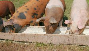 Принцип влияния кормов на качество мяса