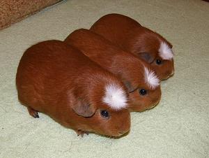 Внешний вид морской свинки