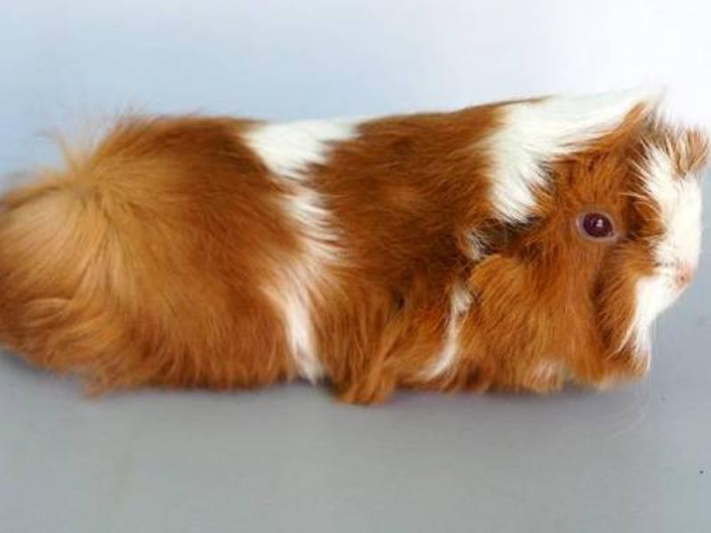 Тип шерсти у морской свинки