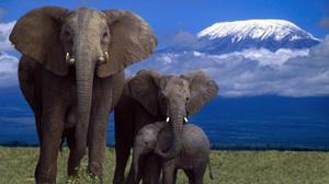 Слон беременность сколько длится